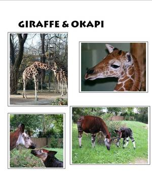 the similarities between an okapi and a giraffe Is the giraffe an evolutionary mix of the camel and giraffe do not have much of similarities and the closest living relative to giraffe is the okapi and i.